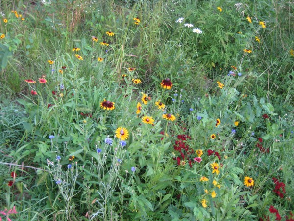 Tall Grass Prairie Wildflowers